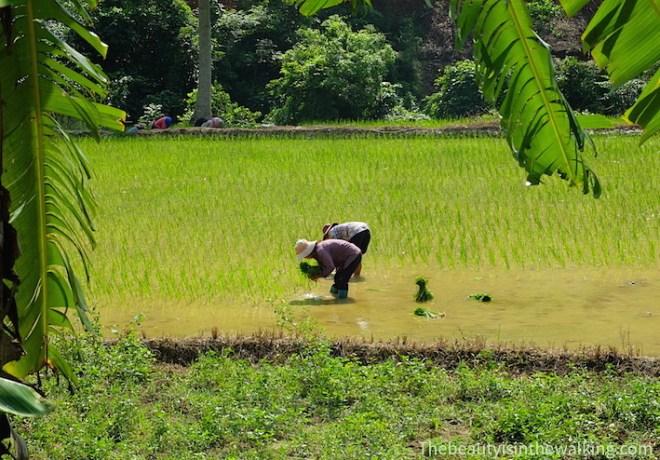 Des femmes plantent le riz
