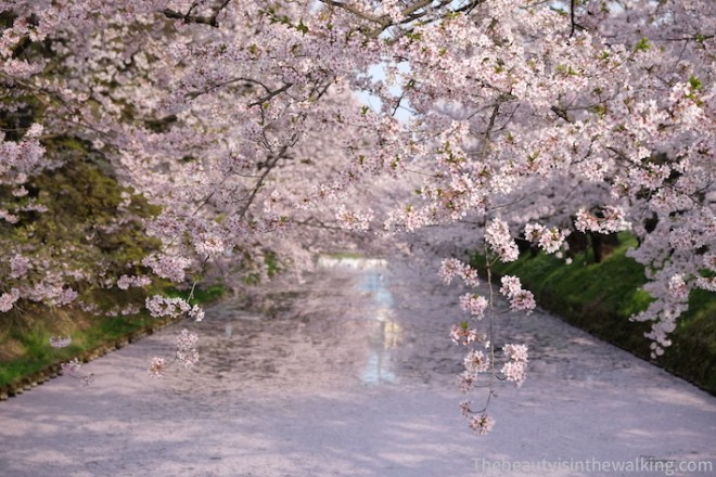 River covered with cherry blossom petals