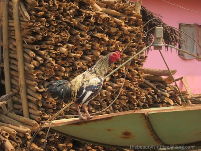 Coq dans un village Lanten, Laos