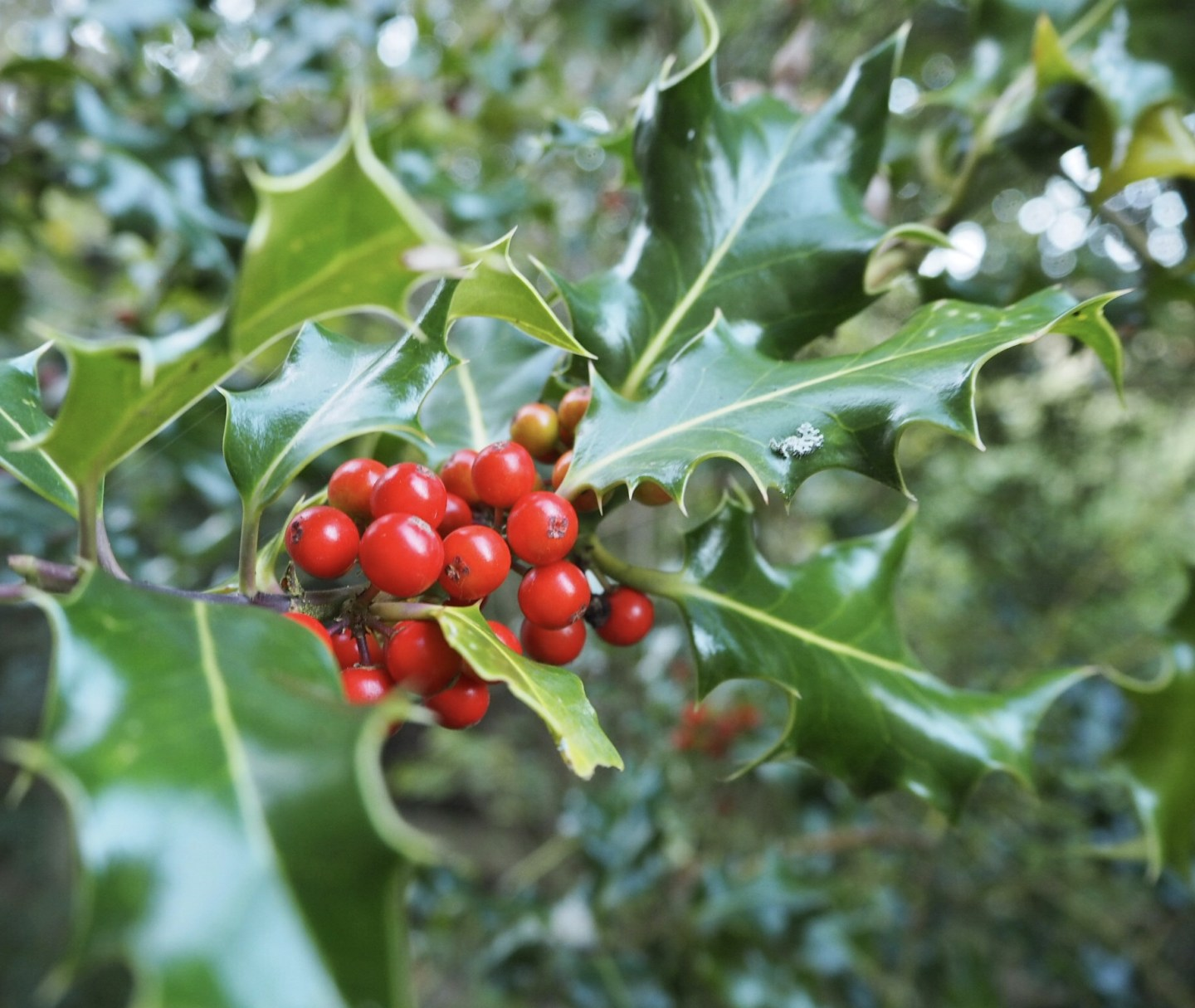 Holly berries. The wonder of autumn.