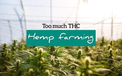Bogus Hemp: Farmer's Producing  Too Much THC?