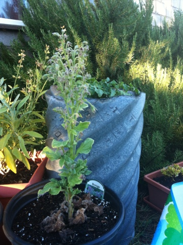 The plant in the front is borage! Dr. Ronald told me to plant it next to a tomato plant for pest control.