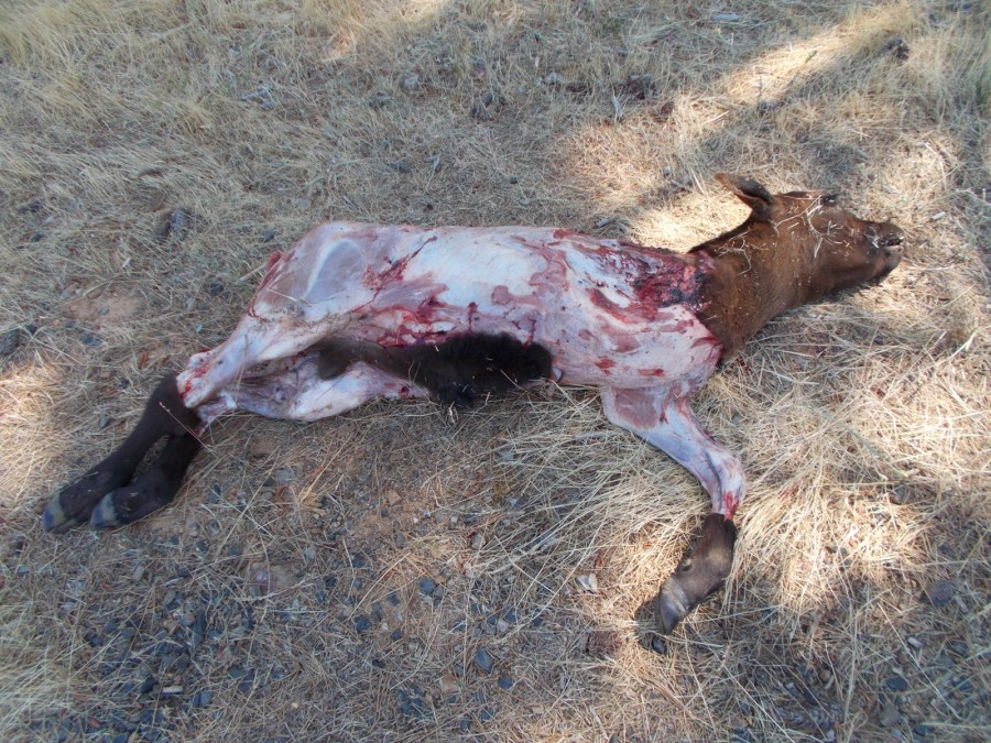 This calf died because a cow stepped on his back and broke it. He was paralyzed and was in a great deal of pain. The decision was made to euthanize him.