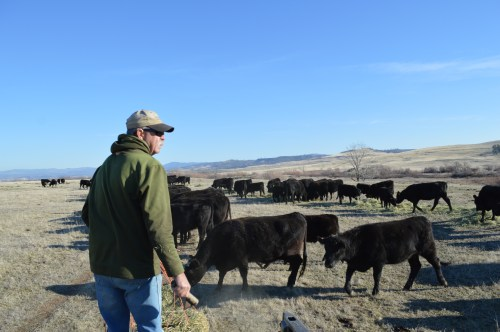Dad and his cattle. He can tell you about every single cow and calf here, who their Mom is, how he feels about them, their temperament, anything - it's neat.