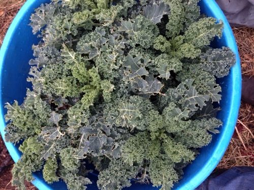 My kale. It's good.