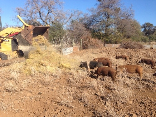 We cleaned a barn out, the pigs got the old hay, and they thought they died and went to pig heaven.