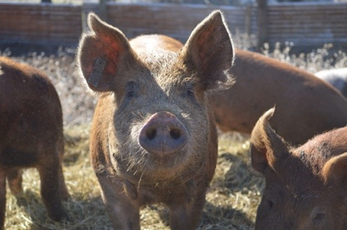 This is my favorite pig. He just looks happy.
