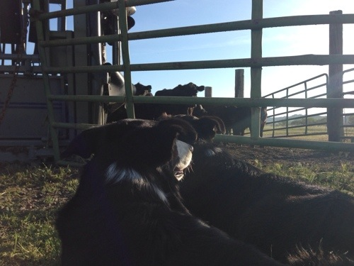 Dogs, helping with the cattle.