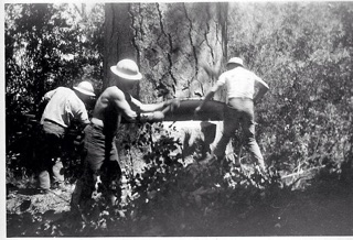L-R: jack on far right sets up the drag saw for the back cut while Lloyd and another logger work on the undercut of a Genesee Valley Ponderosa pine. c. 1949.