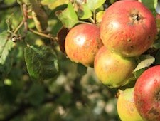 Turning Green into Gold – why are breweries switching to cider?
