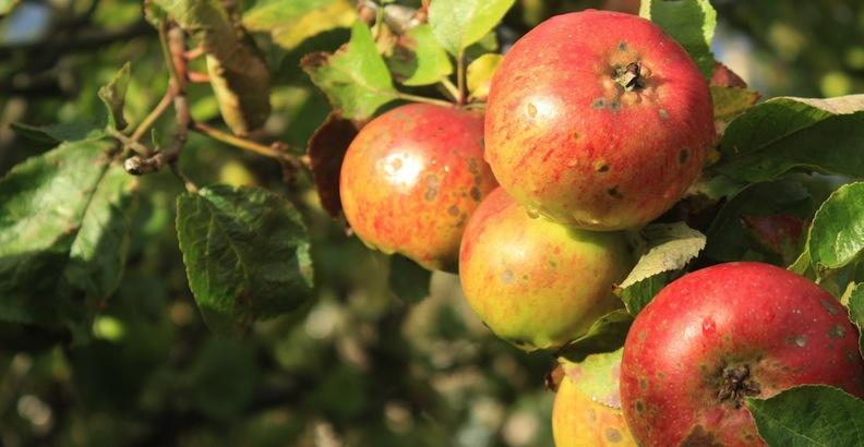 Apples3