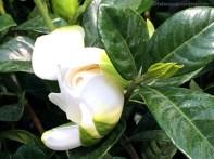 Greenhouse Gardenia
