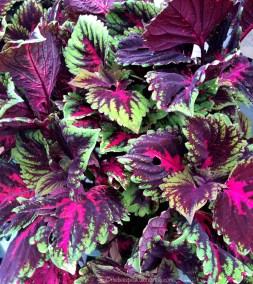 Velvet Leaves