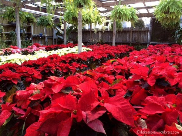 Poinsettia Beauty