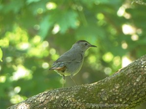 Catbird in Dogwood Tree