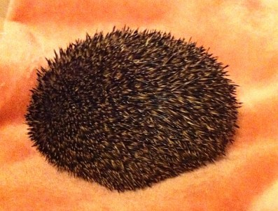 Tommy the hedgehog