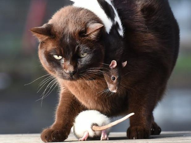 The ratty duo love snuggling into Josh's fur. Picture: Rob Leeson