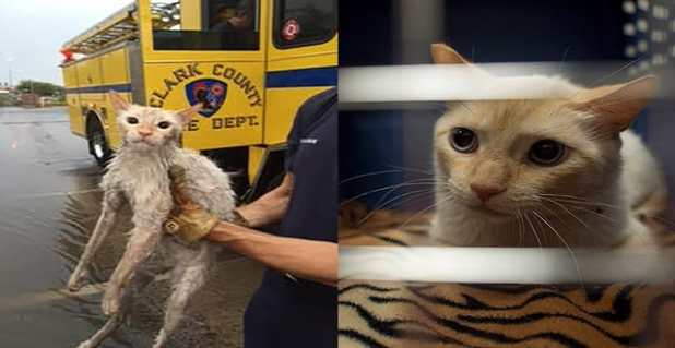 The before and after shots of a feral cat that was rescued by Clark County firefighters after the June 30 flooding near Pebble Road and Maryland Parkway in Las Vegas. (Clark County Fire Department and Bridget Bennet/Las Vegas Review-Journal)