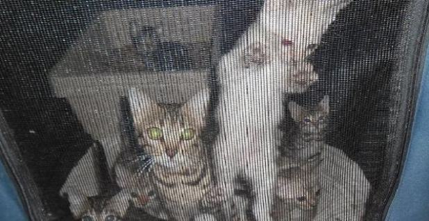 Thirty of the cats seized from Mr Cheng's property were so sick, they had to be put down.