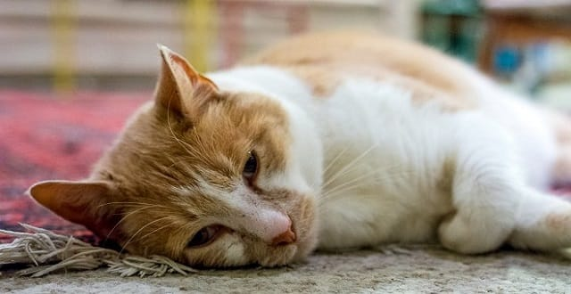 Arthur's owners are worried if he does not lose weight he will become diabetic.