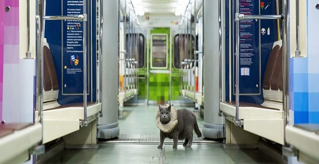 "A British Shorthair cat in a car of a train marking the 400th anniversary of William Shakespeare's death put into service on the Arbatsko-Pokrovskaya Line of the Moscow Metro as part of the UK-Russia Year of Language and Literature and the ""Poetry on the Metro"" project, Oct. 12, 2016."