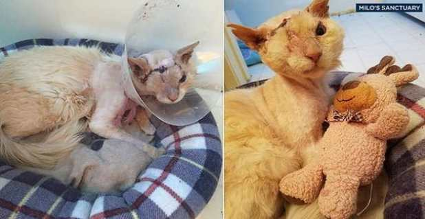Tommy the cat is shown after his eye removal surgery on the left and during his recover as he cuddles with a toy on the right. (Milo's Sanctuary)