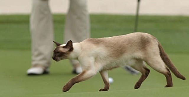 A stray cat makes its way across the green at the 2002 Port City Azalea Classic. (Associated Press )