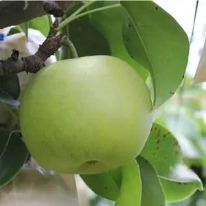 梨ランキング 20世紀梨