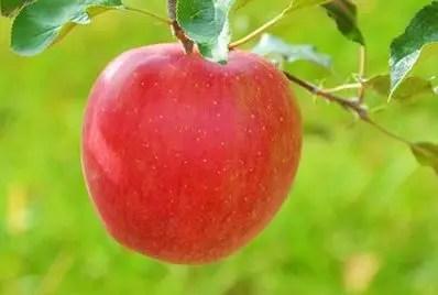 信州のりんご シナノスイート 約5キロ