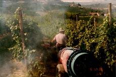 spraying copper in La Morra