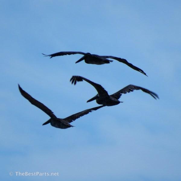 Brown Pelicans going