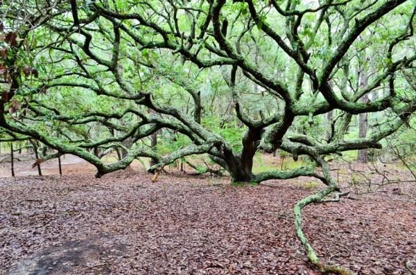Live Oak on primitive Forest Trail