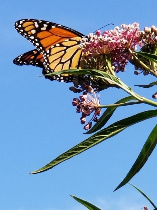 Vicki butterfly 3