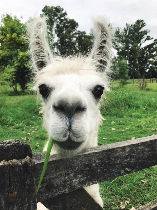 llama_thebetterplaces_argentina.jpg
