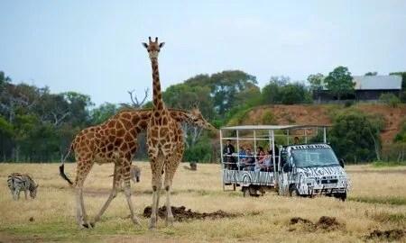 Giraffe at Werribee Zoo