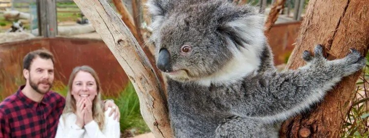 Koalas at Werribee Zoo