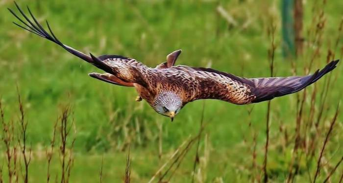 Red Kite on he hnt at Glen Quaich