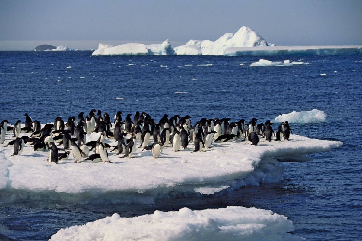 "Is more sea-ice in Antarctica a good thing or a bad thing? Seems like the answer depends on who you ask. Scientists have ""asked"" the Adelie pengui"