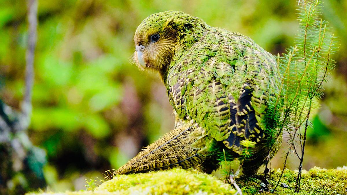 Genetic Sequencing of Kakapos Brings Good News