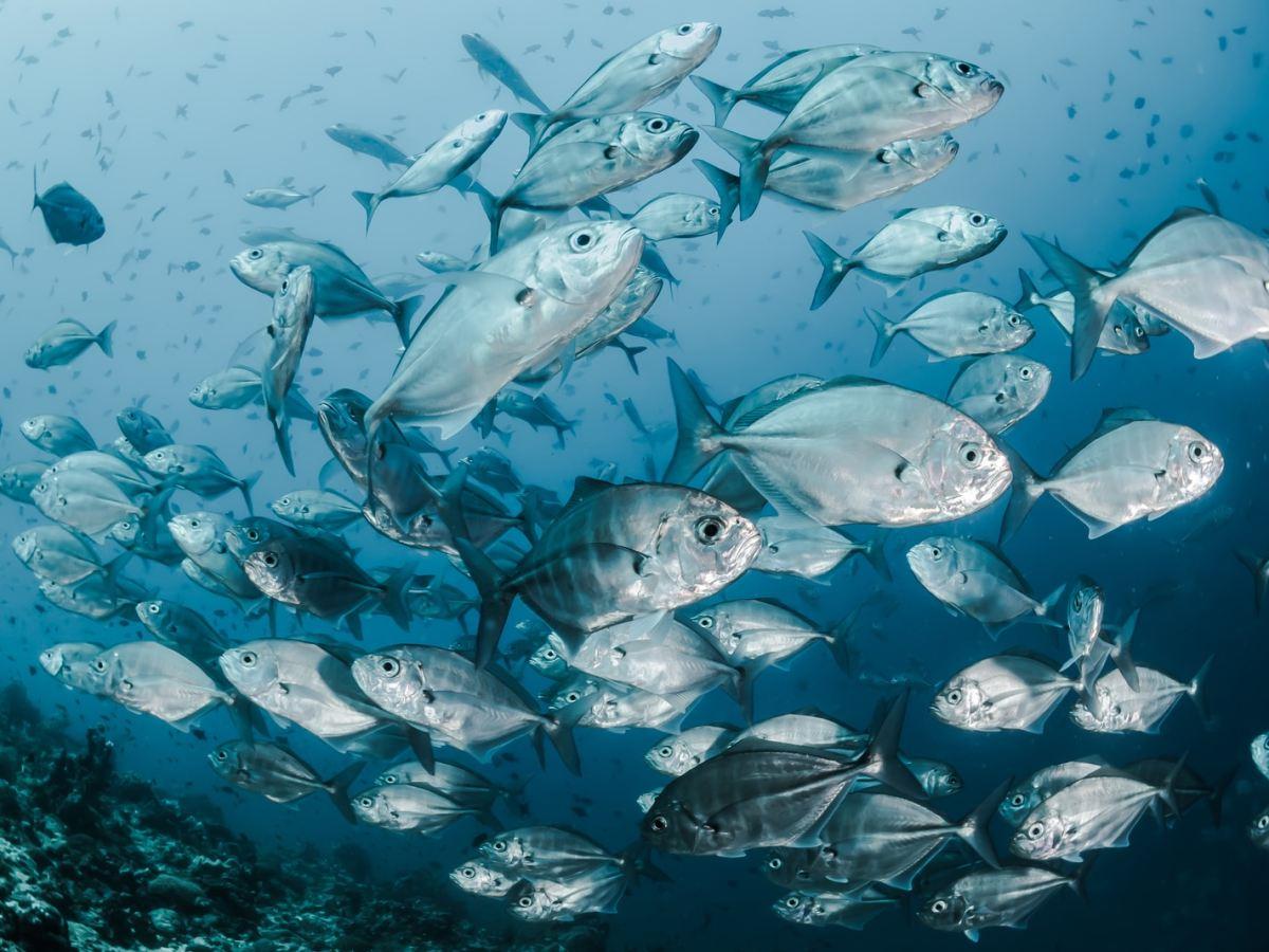 silver fishes underwater