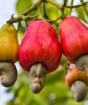Cashew Council Ghana launched to complement TCDA