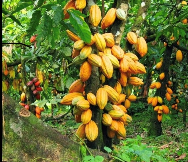 Editorial: Increasing cocoa production means bigger syndicated loan needed