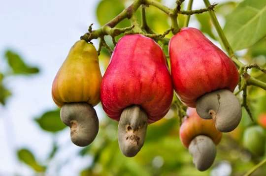 Cashew conference to address supply chain challenges