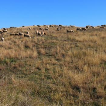 Sheep en route to the ghost-town of Matochina, which now boasts only a handful of elderly residents.