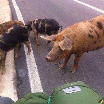In Albania, I seem to be some kind of pig magnet. Every time I stop I am surrounded.