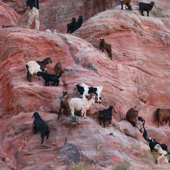 More goats. I know, I know...