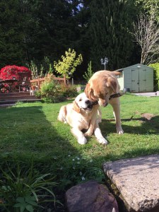 Pups playing in the back garden