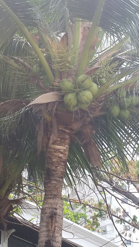 coconut tree in thailand
