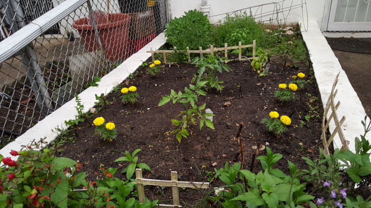 planting tomatoes in the spring in organic dirt