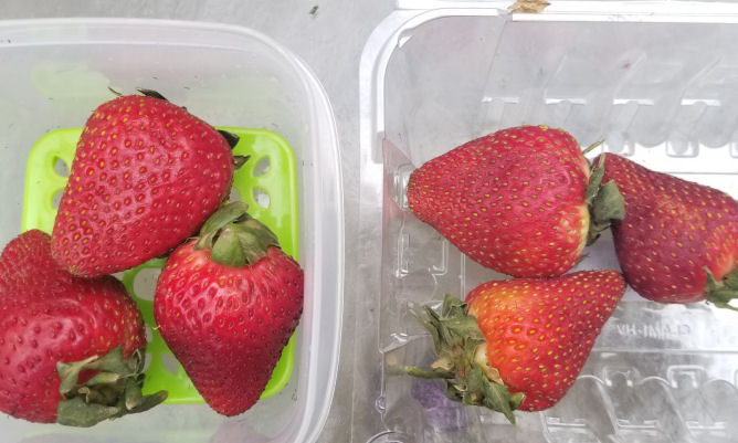6 days old Strawberries RubberMaid FreshWorks vs. Store bought plastic container